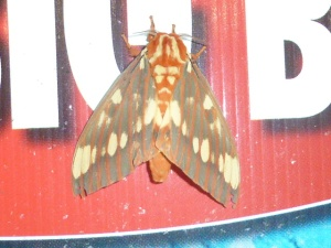 Unfortunate backdrop for a fortunate find -- Royal Walnut Moth at the Citgo station lights on High Germany Rd, Allegany Co MD [2014 July 12, REB]