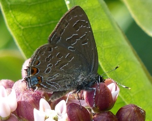 Striped Hairstreak from the MD side of Cranesville [2014 July 12 Beth Johnson photo]