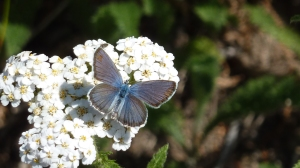 No, not something from our area:  Just a teaser from my Spokane trip.  Blue Copper [2014 July 15, WA Mt Spokane SP.  REB]