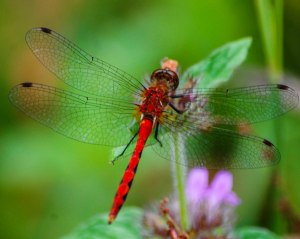 White-faced Meadowhawk at Finzel Swamp [photo by Sheryl Pollock]