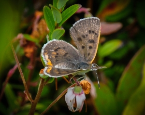 Bog Copper on the flower of its larval host plant, small cranberry [photo by Sheryl Pollock]