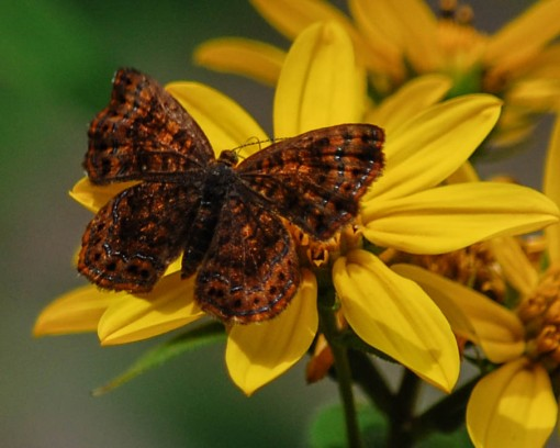 """Highlight of our last day -- Northern Metalmark along """"metalmark alley"""" in Green Ridge State Forest [photo by Sheryl Pollock]"""