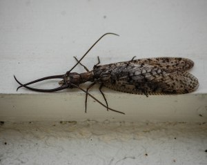 Male dobsonfly at the Citgo lights [photo by Sheryl Pollock]