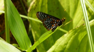 Baltimore Checkerspot in Frederick Co MD [2014 Jiune 29. REB]