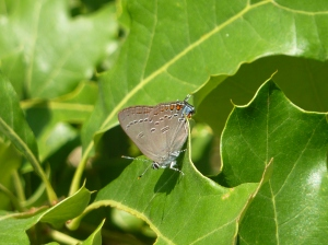 Edwards' Hairstreak in Frederick Municipal Watershed Forest [REB]
