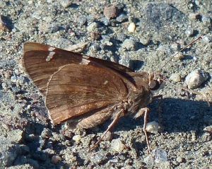 Southern Cloudywing_at St Mary's Lake MD [2014 Aug 29 by Beth Johnson]