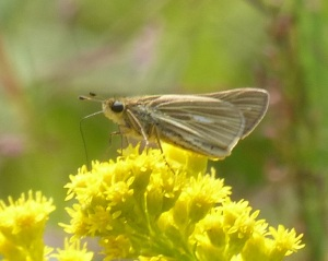 Salt-marsh Skipper on goldenrod at Bombay Hook NWR DE [2014 Aug. 9, photo by Beth Johnson]