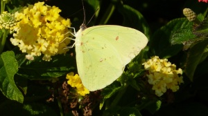 Cloudless Sulphur on lantana, Behnke's Nursery 2013 [REB]