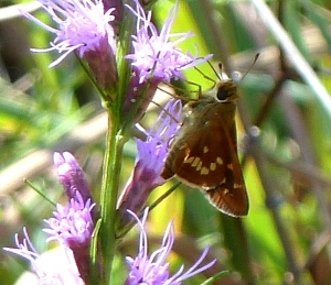 Leonard's Skipper on blazing star (Liatris) along the Choate Mine Trail at Soldiers Delight, Baltimore Co MD [2014 Sept. 6, photo by Tom Stock]