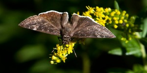 Puzzling sighting of Funeral Duskywing by Kurt Hasselman from NJ's The Great Swamp NWR [see Kurt's Flickr account for better image at https://www.flickr.com/photos/dah_professor/15042760647]