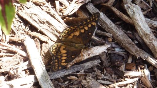 Dark Variegated Fritillary (dorsal) from US National Arboretum [2014 Sept. 1, Washington, DC REB]