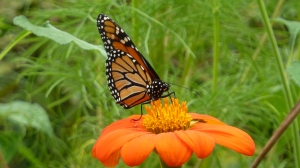 Monarch on Tithonia Flower [2014 Sept. 1, US National Arboretum, DC.  REB]