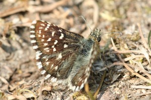 Applachian Grizzled Skipper [photo courtesy US Fish & Wildlife Service]