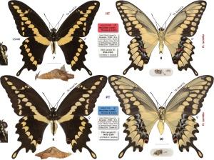 Western Giant Swallowtail, Heraclides rumiko