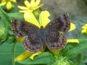 Northern Metalmark, Green Ridge State Forest, 2014 July 12 [photo REB]