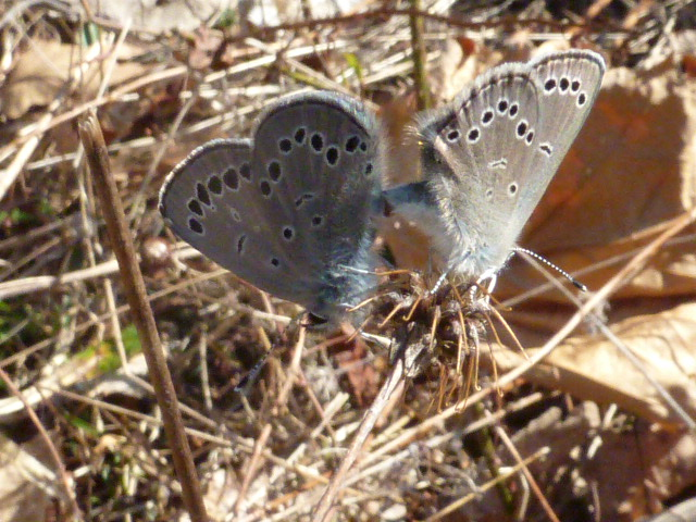 Silvery Blue pair in copula in Green Ridge State Forest. Another early emerger this year [2015 April 13, photo by REB]