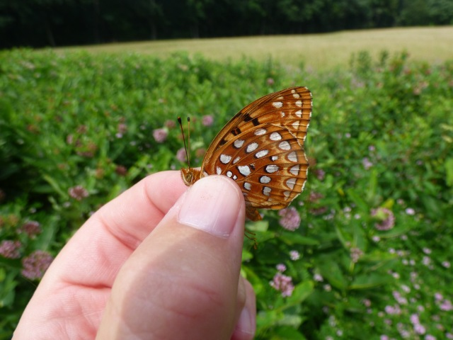Aphrodite Fritillary along Snaggy Mountain Road in Garrett Co MD [2015 July 1]