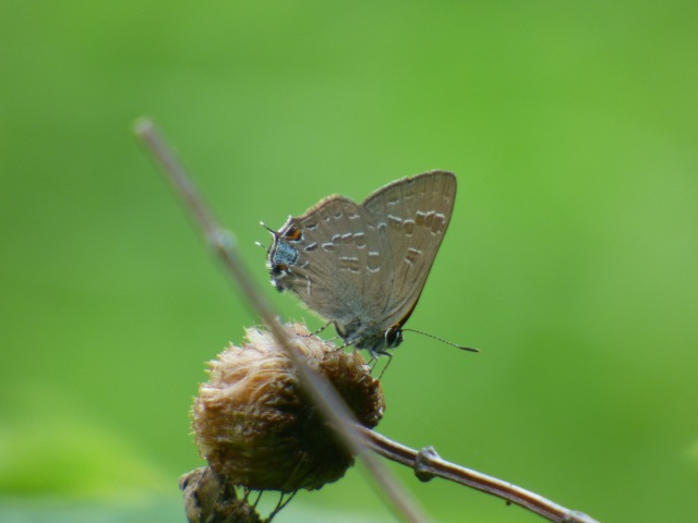 A birthday weekend trip for me with Tom to Whittingham WMA in extreme n NJ produced boatloads of this life butterfly, Hickory Hairstreak. [2015 June 28, Whittingham WMA NJ]