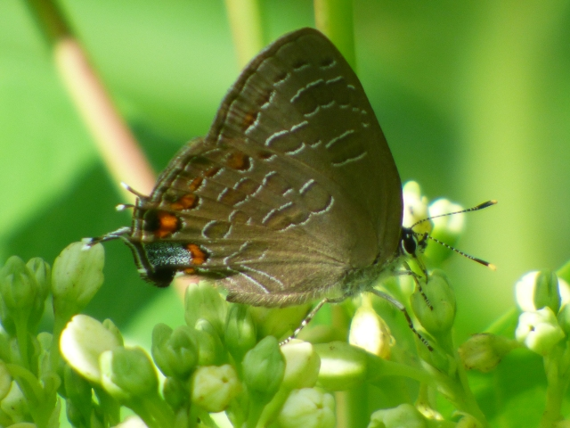 Hundreds of Striped and Banded Hairstreaks mingled with the Hickory Hairstreaks at Whittingham WMA in NJ [2015 June 29]
