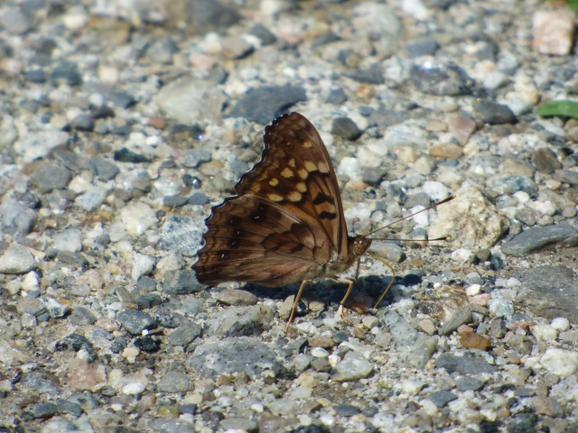 Tawny Emperor taking up salts from the parking area at Whittingham WMA, NJ [2015 June 29]
