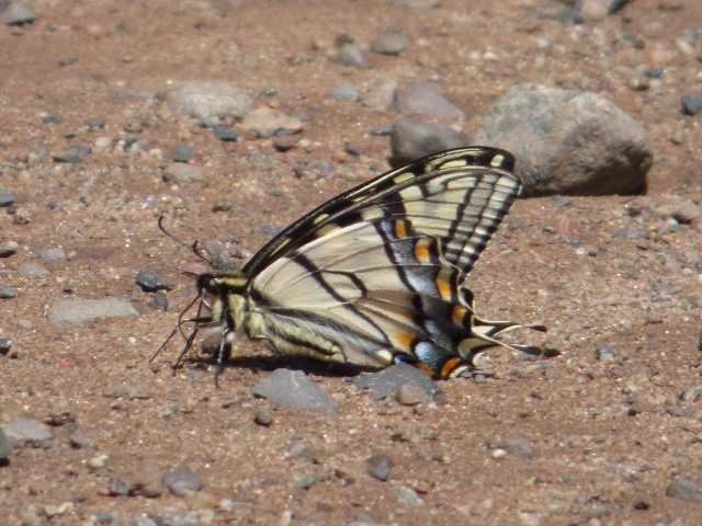 Canadian Swallowtails were flying but not very common in both Crex Meadows WI and Sax-Zim Bog on my Northwoods sojourn in June [2015 June 1, Crex Meadows]