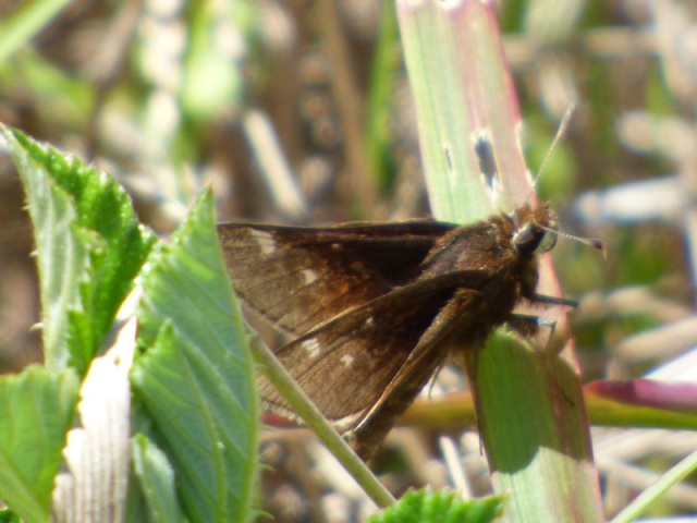 Dusted Skipper, country record for Worcester Co. Observed by me and Beth J at the Foster Tract near Snow Hill. [2015 May 22, MD: Worcester Co, photo by REB]