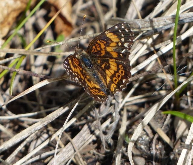 Gorgone Checkerspot, a life butterfly for me, at Crex Meadows WI [2015 May 31]