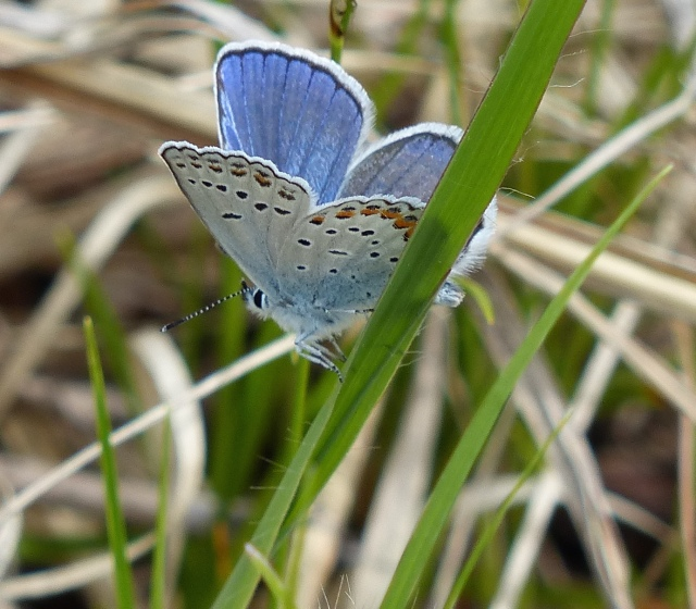 Another lifer for both me and Beth J, Karner Blue. They weren't common yet, and the ones that were flying were laying low because of the stiff breezes and partly cloudy skies. [2015 May 31, Crex Meadows WI]