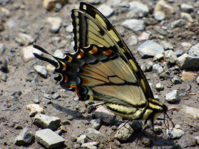 Appalachian Swallowtail puddling along Harry Norris Rd extension down to Sideling Hill Creek [2015 May 8, photo by REB]