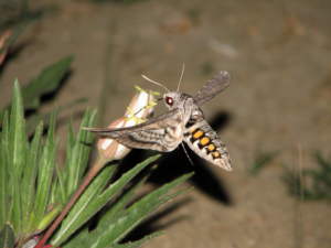 A five-spotted hawkmoth (Manduca quinquemaculata) drinks nectar from the Colorado Springs evening primrose (Oenothera harringtonii) as the flower begins to open. Pueblo West, Colorado, May 2008. Photo: Krissa Skogen