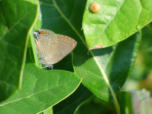 Edwards' Hairstreak in the scrub oak fields in Frederick Municipal Forest near the Sand Flats ponds. [2015 July 2]
