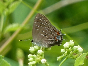 Striped Hairstreak 2013 June 6, College Park, PG Co., MD [photo by Tom Stock]