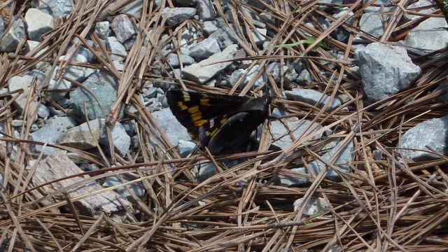 Success! My first Yucca Giant-skipper taking a break from buzzing the yuccas [2015 APR 20, Hamilton Co TN; photo by REB]