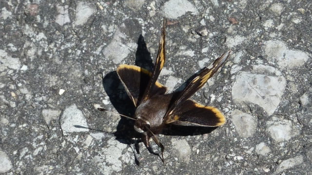 Megathymus yuccae basking on warm asphalt between showers [2015 APR 20, Hamilton Co TN; photo by REB]