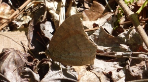 Goatweed Leafwing, a consolation prize early in the hike for finding no giant-skippers [2015 APR 20, Hamilton Co TN; photo by REB]