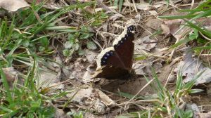Mourning Cloak, first butterfly reported on the wing in Maryland this season