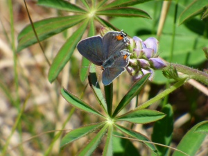 Gray Hairstreak, Odenton MD, Anne Arundel Co [2015 May 2, photo by REB]