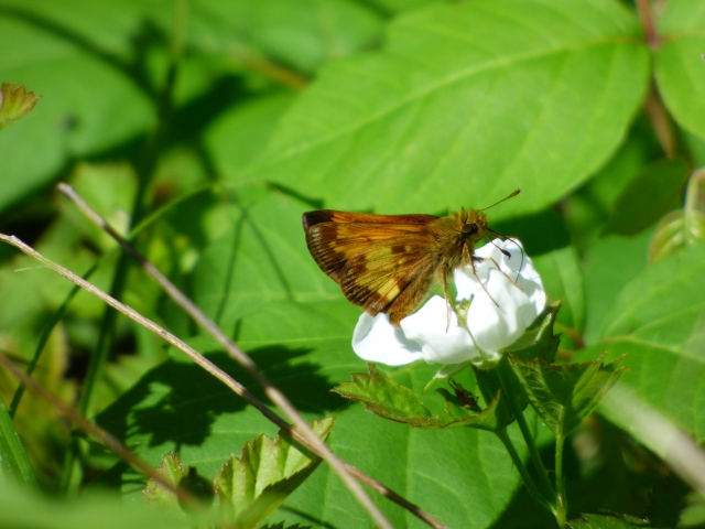 Hobomok Skippers were actively working the blackberry bushes along the ponds at the Sand Flats. [2015 May 20, photo by REB]