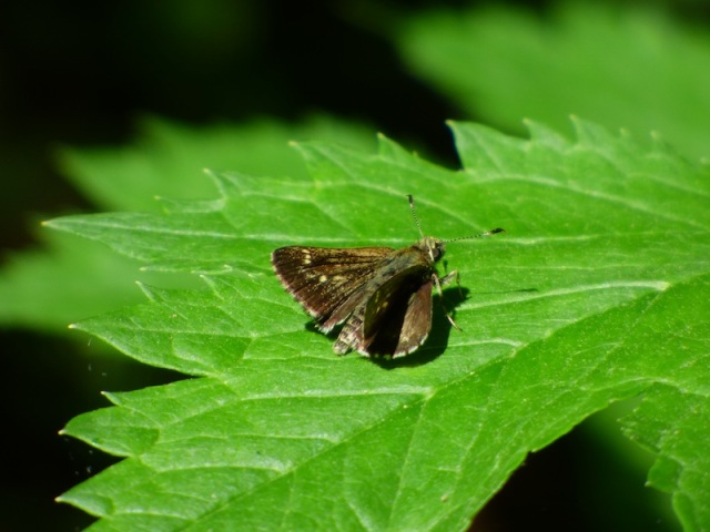 A surprising Pepper and Salt Skipper in Frederick Co MD, basking on a black cohosh leaf. Note the strongly checkered fringes on the wings [2015 May 20, photo by REB]