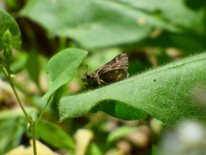 Poor but discernible ventral shot of Pepper and Salt Skipper in Gambrill SP [2015 May 20, photo by REB]
