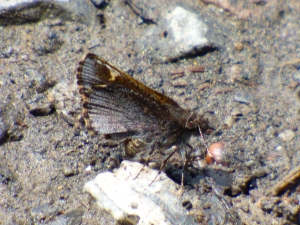 Common Roadside-skipper along Sideling Hill Creek [2015 May 8, photo by REB]