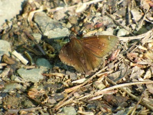 Northern Cloudywing, common in Green Ridge State Forest this weekend [2015 May 8, photo by REB]
