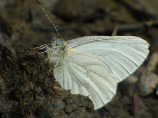 West Virginia White, one of more than a dozen I saw along the back roads in Potomac State Forest [2015 May 9, photo by REB]