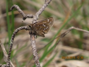 Very gravid Cobweb Skipper at Soldiers Delight NEA [2015 May 12, courtesy Barry Marts]