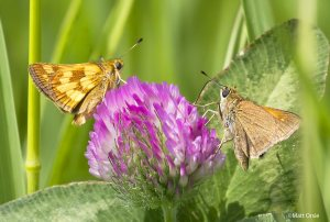 Matt Orsie's great shot of freshly minted Peck's and Tawny-edged Skippers [2015 May 26, Harper's Ferry WV]