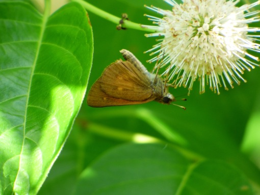 Broad-winged Skipper from Dorchester Co MD on Summer Solstice [2015 June 21, photo by REB]
