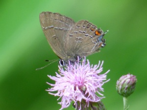 Banded Hairstreaks were a bit more worn than the Hickories, and seemed to prefer the milkweed and thistles over the dogbane that held most of the Hickories.  [2015 JUN 28, photo by REB]