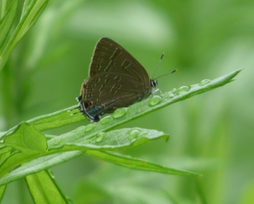 After years of scrutinizing Banded Hairstreaks and trying to turn them into a lifer Hickory Hairstreak, it was so refreshing today to see squadrons of Hickory Hairstreaks that illustrate all the typical features they're supposed to have! [2015 JUN 28, photo by REB]