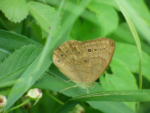Eyed Brown, abundant in the adjacent fields [2015 JUN 29, photo by REB]