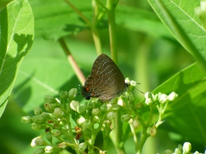 Striped Hairstreak, MIA the day before, showed up in small numbers on dogbane. [2015 JUN 29, photo by REB]